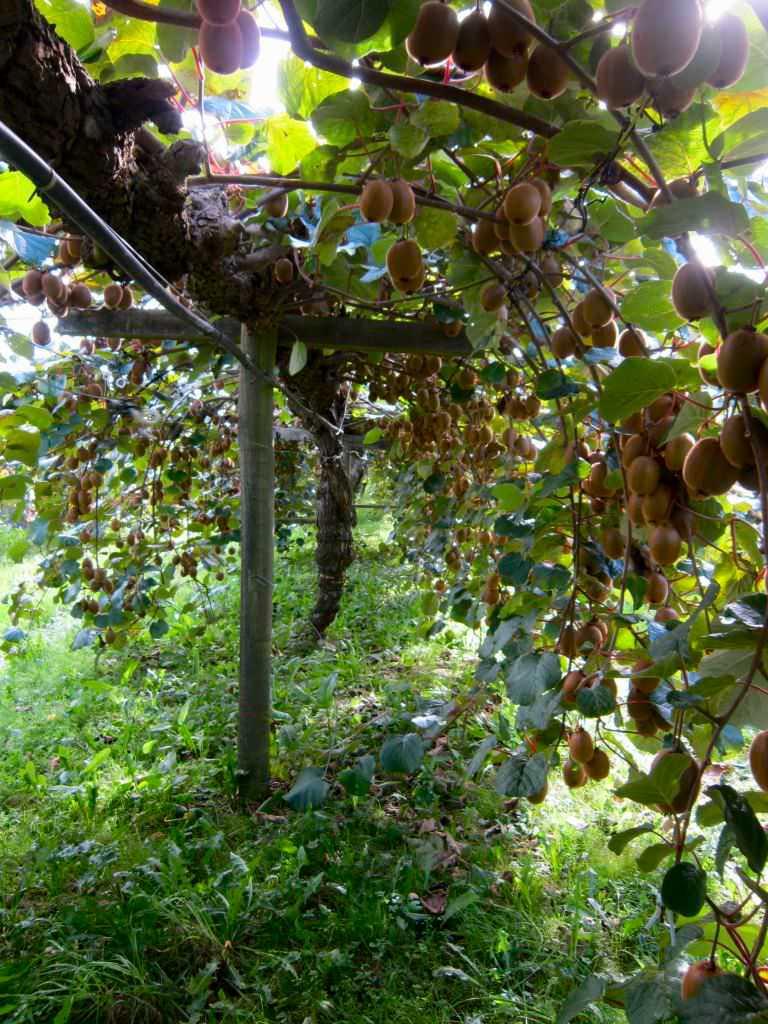 Let S Talk About Kiwifruit Picking Picktheworld