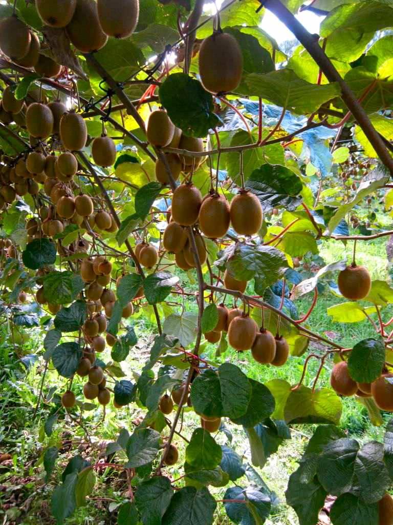 Let S Talk About Kiwifruit Picking Fruit Picking Jobs